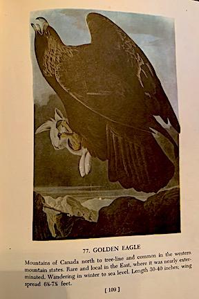 Golden Eagle Illustration from Audubon's Birds of America