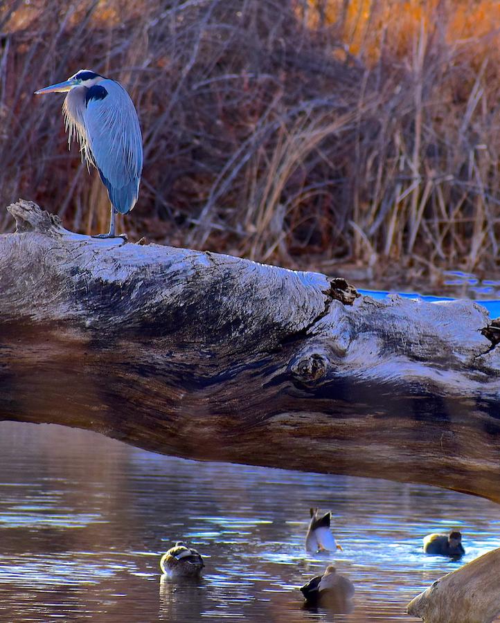 heron and ducks at eaglewatch lake